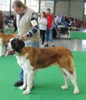 Beauty St.Bernard Star